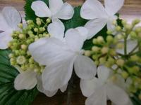 ヤブデマリ花.jpg